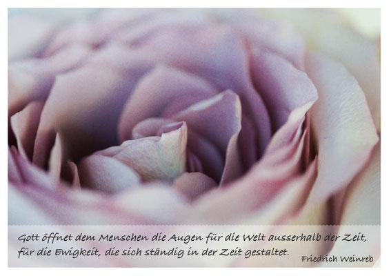 lila Rosenblüte - Ewigkeit gestaltet sich in der Zeit Nr. 169