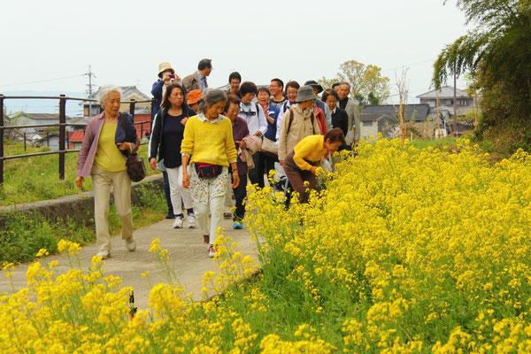 昼食後山の辺の道の菜の花畑を散策