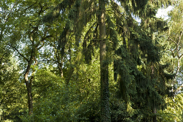 Tree Summer©Ellen Bornkessel