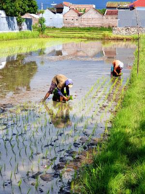Reispflanzung in Singaraja