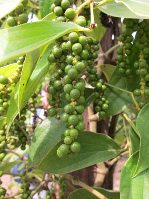 Pepperfarm Phu Quoc