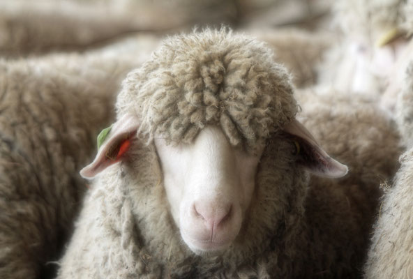 Pure laine vierge