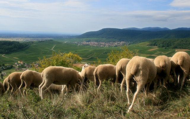 Mérinos d'Alsace