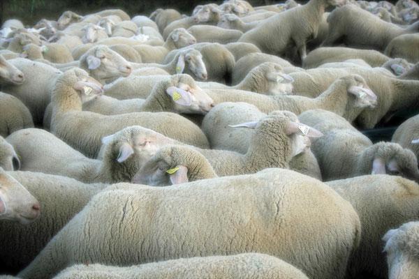 laine naturelle française.