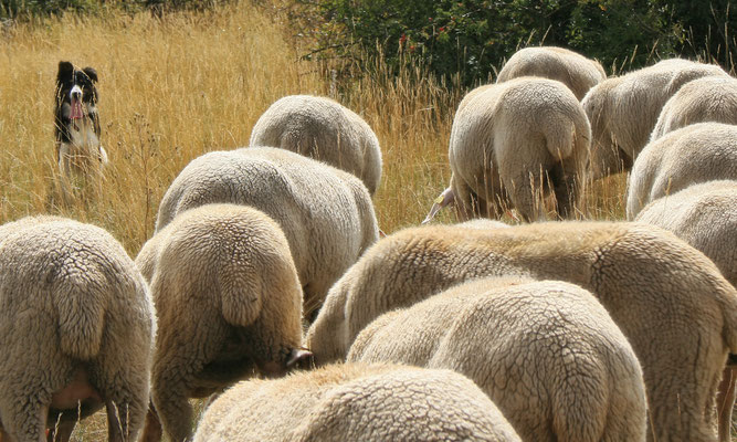 La laine de pays