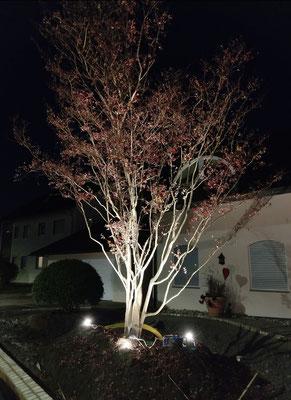 Die beleuchteten Äste des herbstlich verfärbten asiatischen Blühbaums.