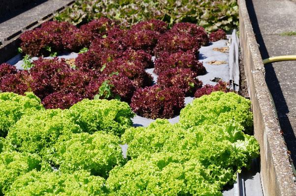 Salate frisch geerntet
