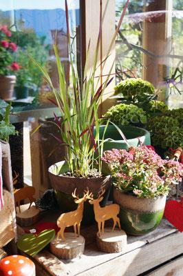 Gras, ´Red Baron`in schönen grünen Keramiktopf.