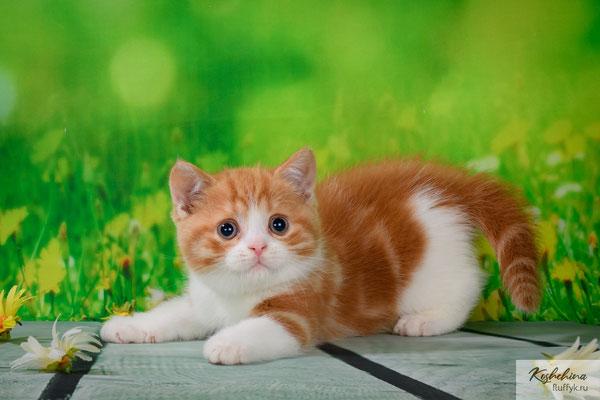 Шотландский котенок  котик, Ксавьер  - скоттиш страйт, окрас красный мраморный биколор (SFS71 d 22 03)