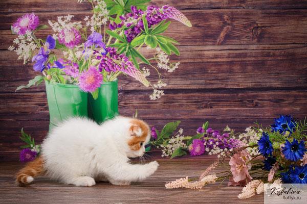 Шотландский котенок  кошечка  - скоттиш фолд, окрас красный табби ван (SFS d 01 21)