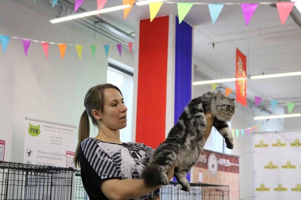 Шотландская длинношестная кошка ( хайленд страйт) выставка кошек