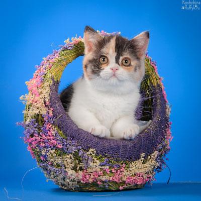 Шотландский котенок, скоттиш страйт кошечка Солнечная капля