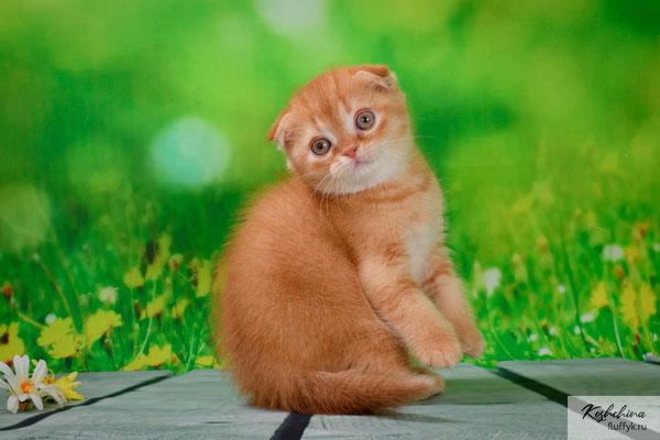 Шотландский котенок  котик, Мистер Икс  - скоттиш фолд, окрас красный тиккированный (SFS d 25)