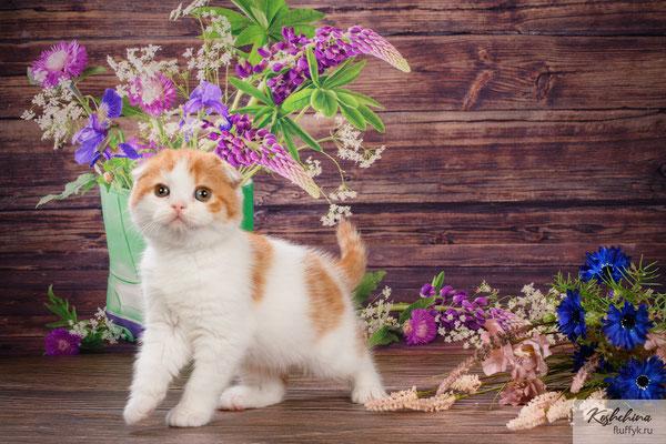 Шотландский котенок, котик Яша скоттиш фолд, окрас красный арлекин