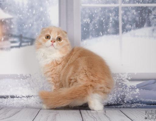 Шотландский котенок, котик Квазар  хайленд фолд (длинношесный вислоухий ), окрас кремовый биколор