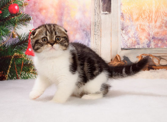Шотландский вислоухий котенок., окрас черный мраморный биколор. Котик Винни Пух.