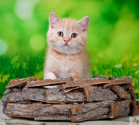 Шотландский котик Тиват - скоттиш страйт, окрас красный мраморный с серебристым подшерстком
