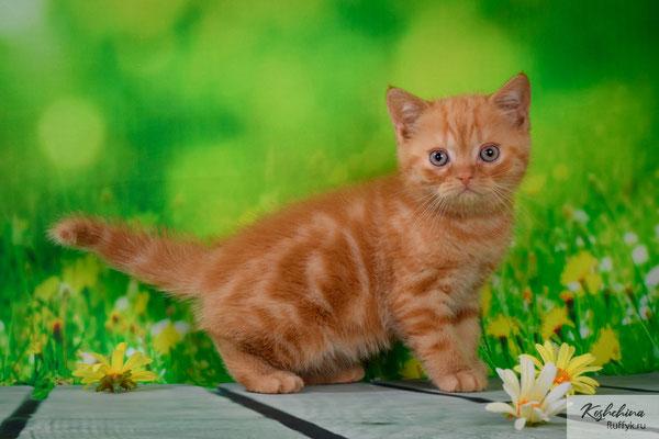 Шотландский котенок  кошечка Ксанта  - скоттиш страйт, окрас красный   (SFS71 d)