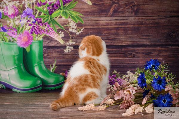 Шотландский котенок  котик - скоттиш фолд, окрас красный  пятнистый арлекин (SFS d 02 24)