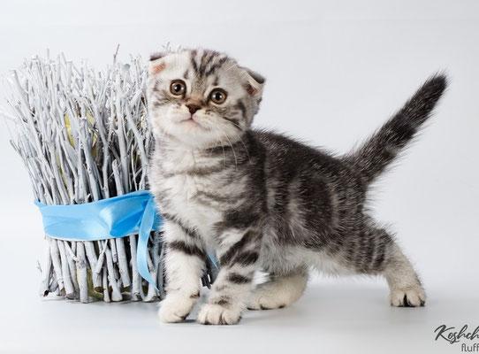 Шотландский котенок :  Кошечка Ульяна   - шотландская вислоухая (скоттиш фолд), окрас черный  черепаховый мраморный с серебристым подшерстком    (SFS fs 22)