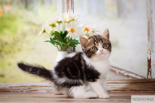 Котик -  скоттиш страйт,  окрас черный  мраморный биколор (браун)