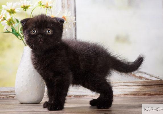 Котик Арамис, скоттиш фолд, окрас черный