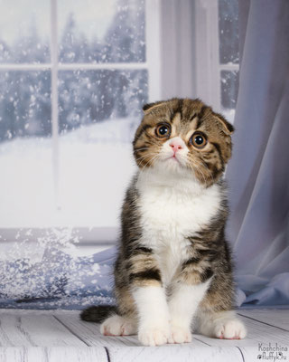 Шотландский котенок, кошечка Киана скоттиш фолд (короткошестная вислоухая), окрас черный мраморный с белым