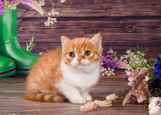 Шотландский котенок, кошечка Янка скоттиш страйт, окрас красный пятнистый биолор