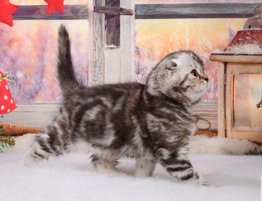 Шотландский котенок    кошечка Винни - скоттиш фолд, окрас черепаховый серебристый мраморный