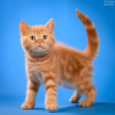 Шотландский короткошерстный котенок, кошечка Роксана, окрас красный мраморный.