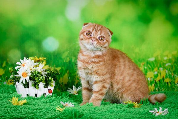 Шотландский вислоухий котенок, котик Меркурий, окрас красный пятнистый