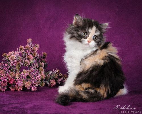 Шотландский котенок, кошечка хайленд страйт, окрас черный черепаховый с серебристым подшерстком