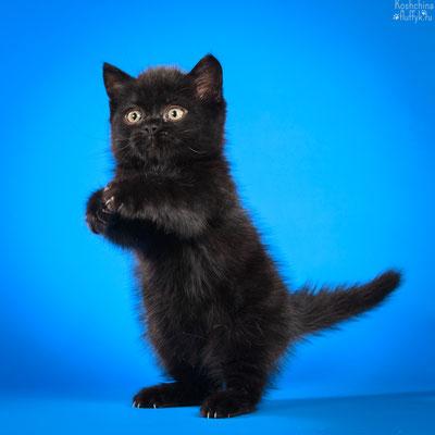 Шотландский котенок, скоттиш страйт котик, окрас черный