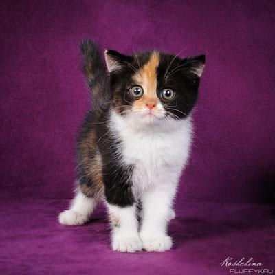 Шотландский короткошерстный котенок, кошечка Лира