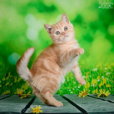 Шотландский котенок, котик Одиссей, окрас кремовый мраморный.