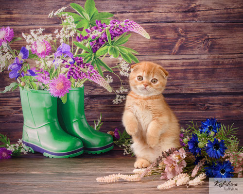 Шотландский котенок  котик - скоттиш фолд окрас красный  тиккированный   (SFS d 25)