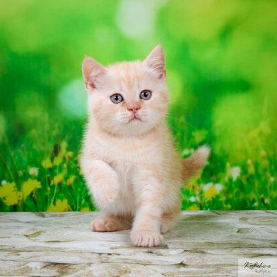 Шотландский котенок :  Котик Тимур - шотландский короткошестный (скоттиш страйт), окрас красный мраморный с серебристым подшерстком (SFS71 ds 22)