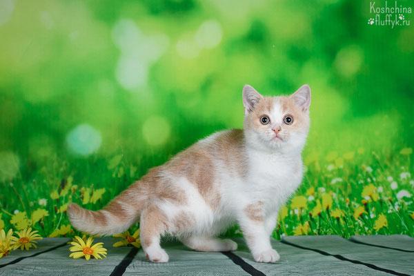 Шотландский короткошерстный котенок, котик Оливер, окрас кремовый биколор