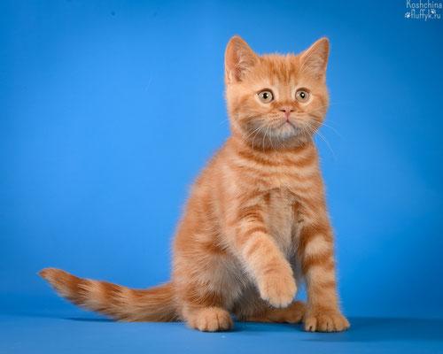 Шотландский короткошерстный котенок, котик Рататуй, окрас красный мраморный.