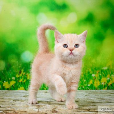 Шотландский котенок котик Токай- скоттиш страйт, окрас черепаховый мраморный с серебристым подшерстком