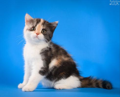 Шотландский котенок, скоттиш страйт кошечка Снежана