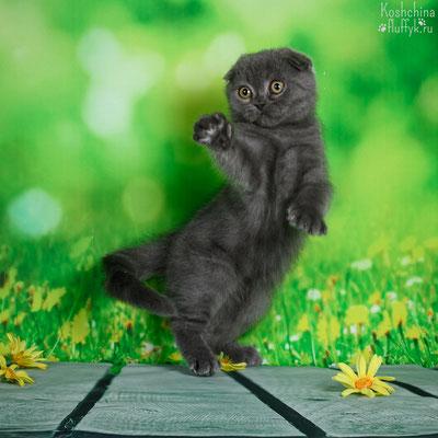 Шотландский вислоухий котенок, котик Оскар, окрас голубой