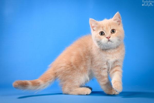 Шотландский короткошерстный котенок, кошечка Риана, окрас кремовый мраморный.