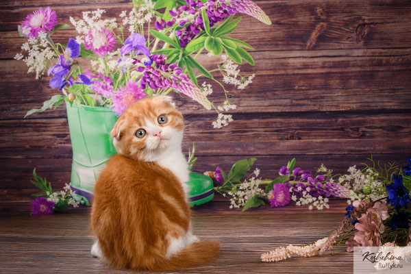 Шотландский котенок  котик Ян- скоттиш фолд,   окрас красный  мраморный биколор  (SFS d 03 22)