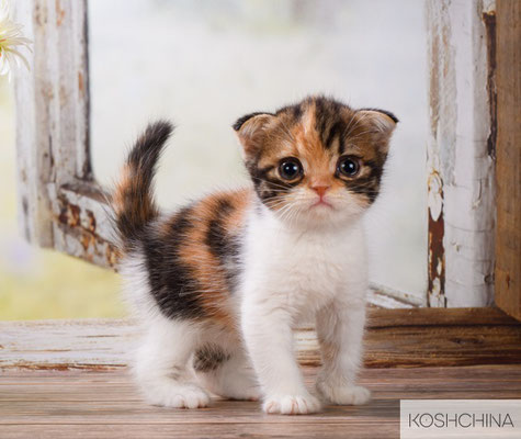 Кошечка Алиса , скоттиш фолд,  окрас черепаховый мраморный биколор