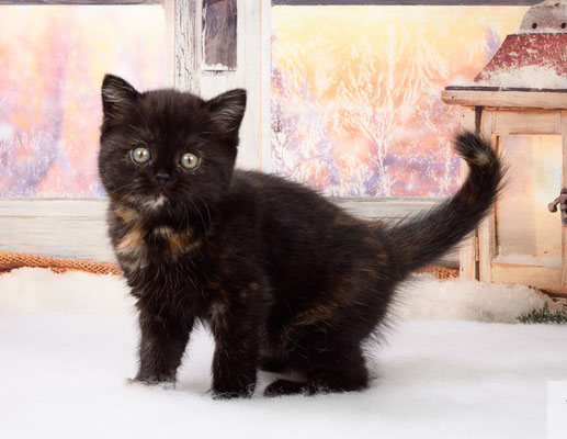 Шотландский котенок    кошечка Вэнди - скоттиш страйт, окрас черепаховый