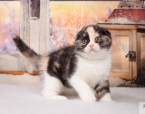 Шотландский котенок    кошечка Ванда- скоттиш фолд, окрас черепаховый мраморный серебристый с белым.