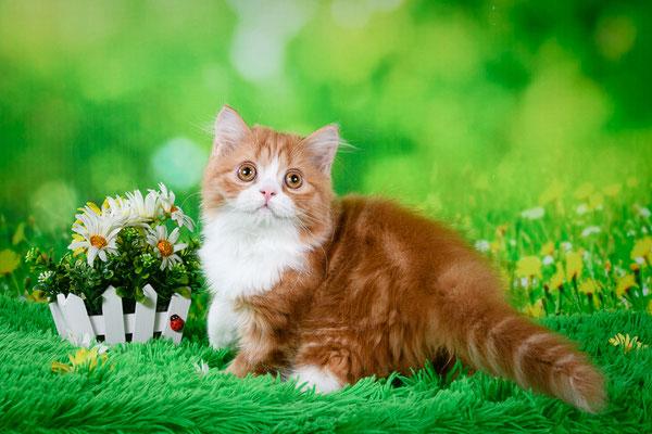 Шотландский длинношерстный котенок, хайленд страйт, котик Мажор, окрас красный мраморный биколор