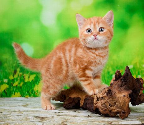 Шотландский котенок кошечка Текила - скоттиш страйт окрас красный мраморный