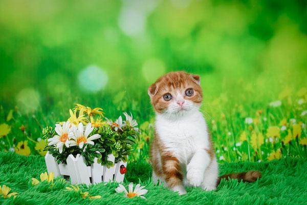 Шотландский вислоухий котенок, кошечка Нина, окрас красный мраморный биколор